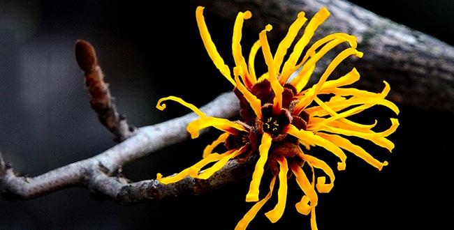 getty-91235152-witch-hazel-flower-i-love-photo-and-apple-main.jpg